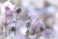 5. Pastel Blossoms (Small and Beautiful) Tags: clematis blossom pastel digital art