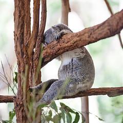 monday, monday, monday (s.f.p.) Tags: lone pine koala sanctuary brisbane australia sleep sleepy hangover belly tired nap napping power sitting animal tree branch square format color nobody humor funny high