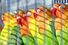 Couleurs vives à l'heure de la sieste derrière les barreaux (Christian Chene Tahiti) Tags: canon 7d doha qatar perroquet parrot oiseau volatile couleur jaune rouge vert orange bec cage barreau marché bleu gollfepersique procheorient