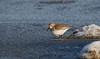 Icy Dunlin (Explored 1/9/18) (Cameron Darnell) Tags: canon tamron cameron ice icy cold water ocean december 2017 winter shorebird calidris dunlin
