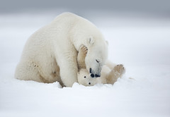Alaska Polar Bear trip 2018 (www.studebakerstudio.com) Tags: polarbear polar bears alaska snuggle nuzzle love mother cub snow arctic mammal nature wildlife