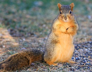 fox squirrel at Lake Meyer Park IA 854A0430
