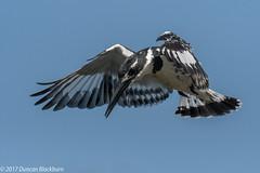 Hover.... (Explore 10 December 2017) (Duncan Blackburn) Tags: 2017 lakepanic sabisun southafrica bird piedkingfisher nikon nature wildlife kruger coth5
