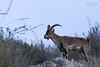 IMG_2462 (Pedro del Prado) Tags: cabramontés cerrogordo espaciosnaturales fauna mamiferos torrox