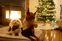 Day Fourteen - 2017 (samd517) Tags: wood stove fire christmas tree dog bed bourbon doberman rugby maltese gingerbread man woman winter leash free living hankerchief