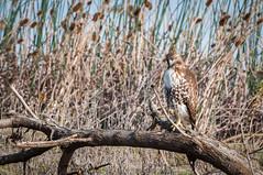 Red-tailed Hawk (phoca2004) Tags: bird birdofprey buteo d90 glenncounty hawk nikon redtailedhawk sacramentonationalwildliferefuge willows california unitedstates us buteojamaicensus