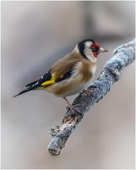 Goldfinch - Carduelis carduelis (Linton Snapper) Tags: goldfinch gardenbirds bird canon cambridgeshire lintonsnapper wildbirds winter