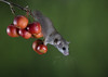 Dormouse in crab apples (ToriAndrewsPhotography) Tags: dormouse mice dormice workshop berries crab apples swinging cute photography andrews tori