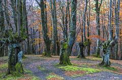 Zabalandiko pagadia (Jabi Artaraz) Tags: jabiartaraz jartaraz zb euskoflickr pagadia hayedo otoño udazkena nature natura