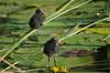 siblings (klaus.huppertz) Tags: heilbronn natur nature outdoor wildlife vogel vögel bird küken tier animal wasser water teich pond leaf blatt chick biddy teichrose gelbeteichrose nuphar waterlily commonmoorhen waterhen swampchicken teichralle teichhuhn gallinulachloropus nikon nikond7000 d7000 nikkor 300mm tele telephoto 300mmf28gvrii nikkor300mm28 nikonafsvrnikkor300mmf28gifed coth coth5