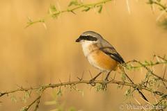 Long-tailed Shrike. (Vikas.B.Chavan) Tags: longtailedshrike laniusschach nikond7100 afsnikkor300mmf4difed nikontc17eii