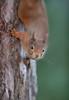 Red squirrel (Mike Mckenzie8) Tags: sciurus vulgaris mammal wild wildlife scotland cairngorm highland forest pine tree woodland winter
