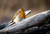 Shards (Rob Blight) Tags: robin europeanrobin wild wildlife bird nature natural smallbird forest winter morning tree wood deadtree nikond850 d850 200500 200500mm fauna rotkehlchen vögel