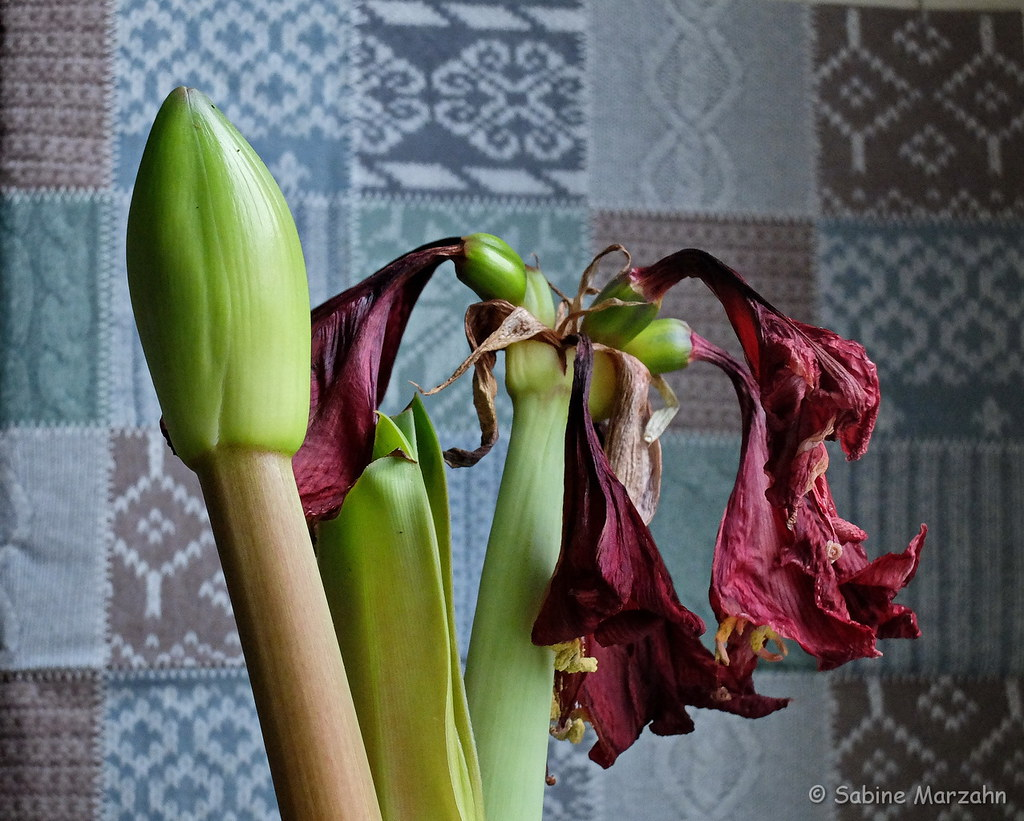 The Worlds Best Photos Of Amaryllis And Blüten Flickr Hive Mind