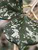 IMG_1090 (cajaygle) Tags: shotonmoment green leaf macro bumpy scaly