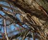 Brown Creeper (Dendroica cerulea) Tags: browncreeper certhiaamericana certhia certhiidae certhioidea passeri passeriformes psittacopasserae eufalconimorphae aves birds creeper winter johnsonpark highlandpark middlesexcounty nj newjersey