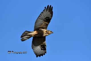 Rough-legged Hawk DSC_3852