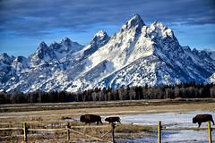 WHEN YOU WERE BORN ... (Aspenbreeze) Tags: bison buffalo tetonmountains tetons mountains wyoming tetonnationalpark nationalpark slitrailfence fence peaks snow winter wildlife wildanimal wyomingwildlife bevzuerlein aspenbreeze moonandbackphotography