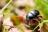 the beatle (Javier Palacios Prieto) Tags: clara beatle nature green leaves black