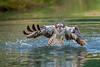 Osprey (Artisanart) Tags: osprey bird of prey fishing river gwash horn hill hide water trout shepherd bob