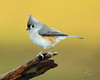 Tufted Titmouse (H. Fox) Tags: backyardbirds birds closeup decayinglog feathers kentucky madisoncounty nature nikond800 naturephotography rain songbirds tuftedtitmouse wildlife winter2017