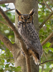 Great Horned Owl (Jesse_in_CT) Tags: greathornedowl owl nikon200500mm