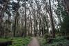 DSC_7664.jpg (Scameroon) Tags: andy goldsworthy andygoldsworthy sanfrancisco presidio spire wood line cypress