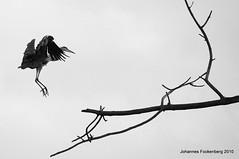und hops (grafenhans) Tags: konica minolta dynax maxxum 7d 455675300 fischreiher reiher ast vogel schwarz weiss black white grafenwald bottrop natur tiere