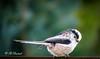 Eine flinke Schwanzmeise (Fotoamsel) Tags: garten natur schwanzmeise tiere tiereimgarten vögel imgarten goslar niedersachsen deutschland