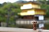 The Adventures of Pic in Japan ~ Told by himself 47/55 (**Alice**) Tags: pic sonyα450 50mm japan japonia 日本 mangusta mangustă mongoose kinkakuji 金閣寺 templeofthegoldenpavilion