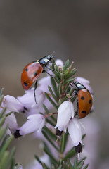 balade (Doriane Boilly Photographie Nature) Tags: coccinelle insecte