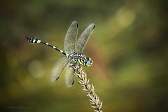 Having a rest (Petra Ries Images) Tags: kodakcineektanon102mmf27 dragonfly libelle cinelens insect insekt manualfocus manuallens vintagelens closeup bokeh