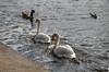 Wildlife in Sutton Park (Hope Trains) Tags: suttonpark autumn 2017 geese birds swan nature