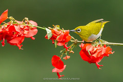 Oriental white-eye (Ramakrishnan R - my experiments with light) Tags: 14tciii 14tc 1d4 2017 500mmf4 avian birding canon dec2017 forest incredibleindia kerala markiv munnar nationalgeographic oriental prime sylviapalpebrosa yellow zosterops zosteropspalpebrosa zosteropspalpebrosus aves aviafauna birdphotography birdwatching birder birds birdwatcher eye feeding flower india jugle myexperimentswithlight natural nature nectar palpebrosa palpebrosus perched photography ramkrishr ramsfotobites red ted twitcher water waterbody white wild wildbirds wildlife