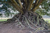 Yew Tree roots, Waverley Abbey (ctrolleneos) Tags: canon80d waverleyabbey hdr affinity 1585 yew tree