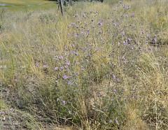 Weeds66 (NRCS Montana) Tags: weeds knapweed invasive centaureamaculosa