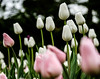 Fantasy forest (LynxDaemon) Tags: tulip flower dark white pink tulipe ottawa green greenery