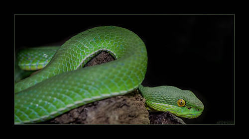 Flickriver Most Interesting Photos Tagged With Whitelippedpitviper