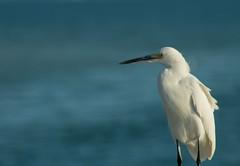 Snowy Egret (DanRNeumann) Tags: white outdoor nature stpetersburg tampa bird gulfofmexico florida earingbird wildlife