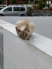 looking cat (curly_em) Tags: cat animals fur loscristianos tenerife canaryislands outside outdoors holiday vacation siamesecat siamese