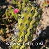 Oreocereus fossulatus (SUBENUIX) Tags: cactaceae oreocereusfossulatus suculentas subenuix subenuixcom planta suculent suculenta botanic botanical