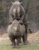 white rhino Burgerszoo BB2A6817 (j.a.kok) Tags: neushoorn rhino rhinoceros whiterhino witteneushoorn breedlipneushoorn burgerszoo animal africa afrika herbivore mammal zoogdier dier