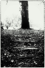 Woodland Steps (Missy Jussy) Tags: tree leaves ivy fall outdoor outside southwestfrance countryside mono monochrome blackwhite bw blackandwhite woodland steps wood canon canon5dmarkll ef100mmf28macrousm