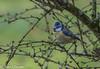 Parus caeruleus - Blue Tit (bollejeanclaude) Tags: photos oiseaux passeraux insectivores nature mésanges birds vogels longchamps wallonie belgique be nikoniste nikond750 mésange