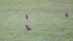 Redwing (Turdus iliacus) (jhureley1977) Tags: redwing turdusiliacus birds birding birdsofbritain britishbirds ashjhureley avibase naturesvoice bbcspringwatch rspbbirders ashutoshjhureley hemelhempstead hemelbirding