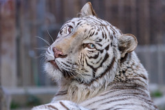 Sky ♂ - Curiosity (Belteshazzar (AKA Harimau Kayu)) Tags: sky tiger zoo animal bigcat bigcats feline bengaltiger pantheratigristigris königstiger indischertiger eltigredebengala tigredubengale latigrerealedelbengala бенгальскийтигр 孟加拉虎 whitetiger weisertiger tigreblanco tigreblancroyal белыйтигр 孟加拉白虎 zooshot tobu tobuzoo snowwhite sunbathing canada playful playfulcat playfultiger playfulwhitetiger bengal sex blueeyes curiosity nightzoo whenyouwishuponastar