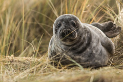 Hullo!!!!! (Explored) (sharongellyroo) Tags: horsey norfolk beach dunes seals sealpup holidays christmas inexplore