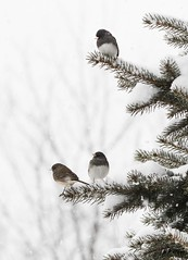 Juncos and snow (a56jewell) Tags: a56jewell winter dec juncos black outdoors snow tree