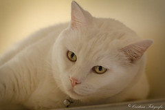 Amilcare (Cristina Laugero) Tags: cat white bianco gato eyes occhi feline felino tender petrait