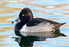 Ring-Necked Duck (Ed Sivon) Tags: america canon nature lasvegas wildlife wild western water southwest desert duck clarkcounty clark vegas bird henderson nevada preserve